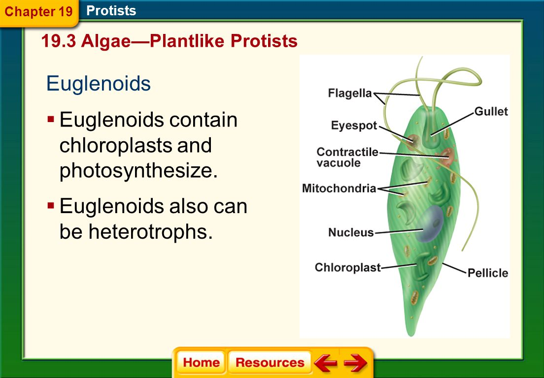 Euglenoids contain chloroplasts and photosynthesize.