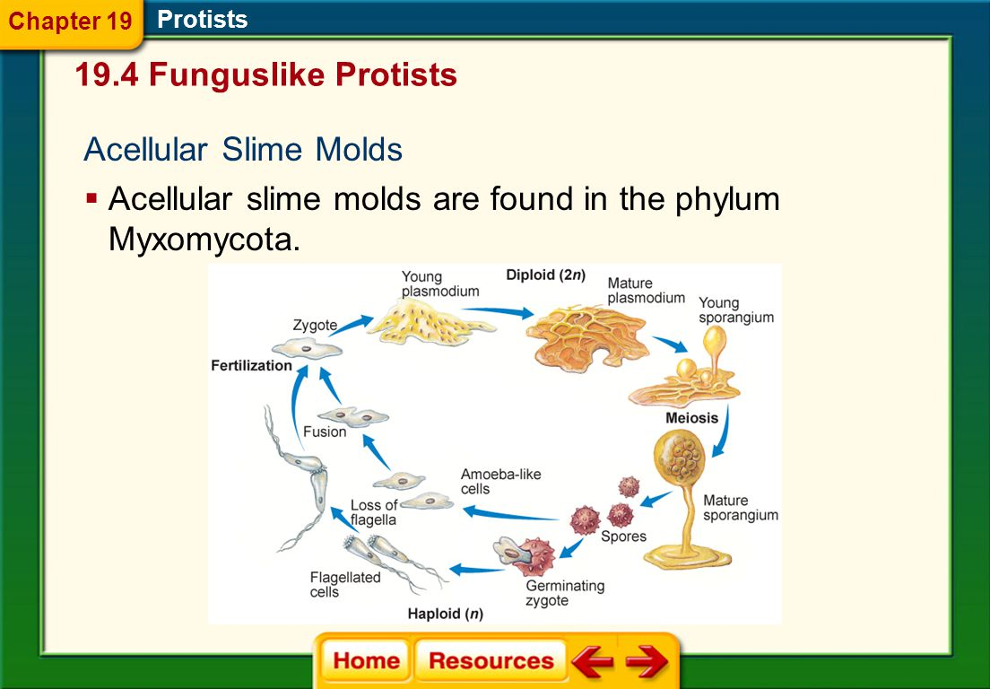 Acellular slime molds are found in the phylum Myxomycota.