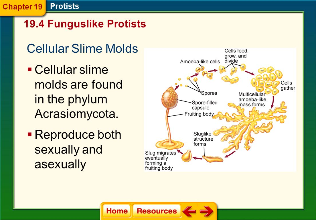 Cellular slime molds are found in the phylum Acrasiomycota.