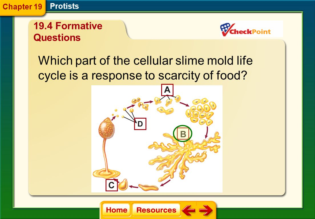 Which part of the cellular slime mold life