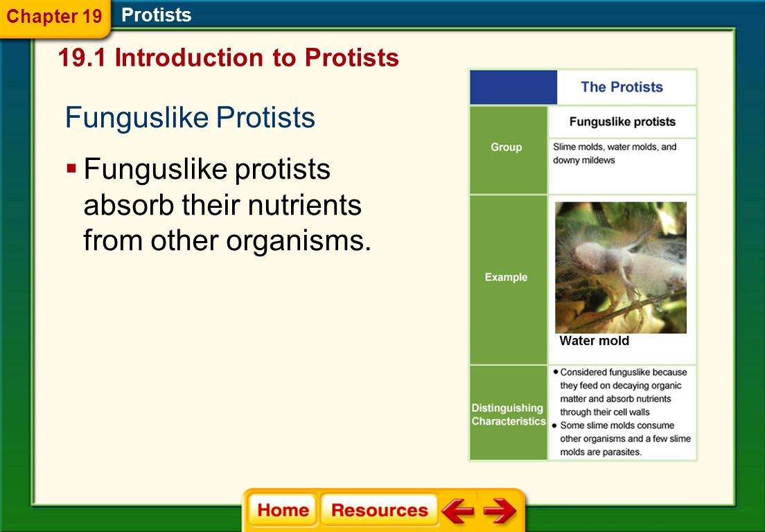 Funguslike protists absorb their nutrients from other organisms.