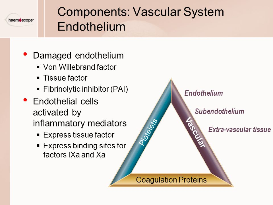 Components: Vascular System Endothelium