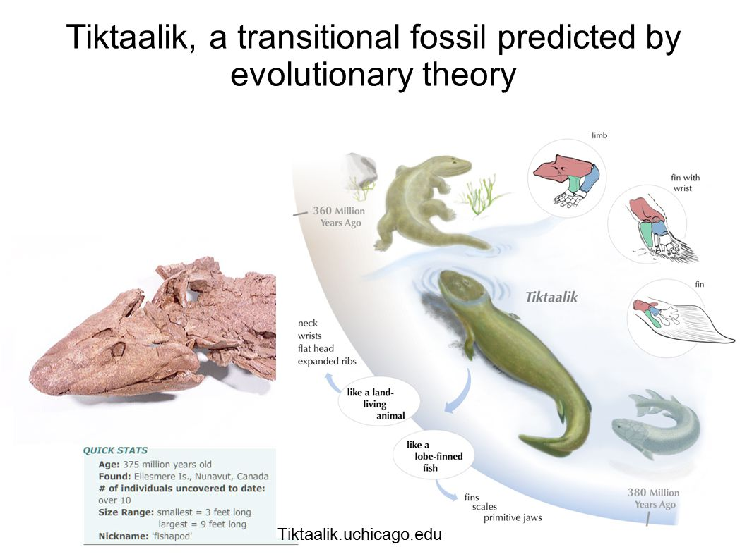 Tiktaalik, a transitional fossil predicted by evolutionary theory