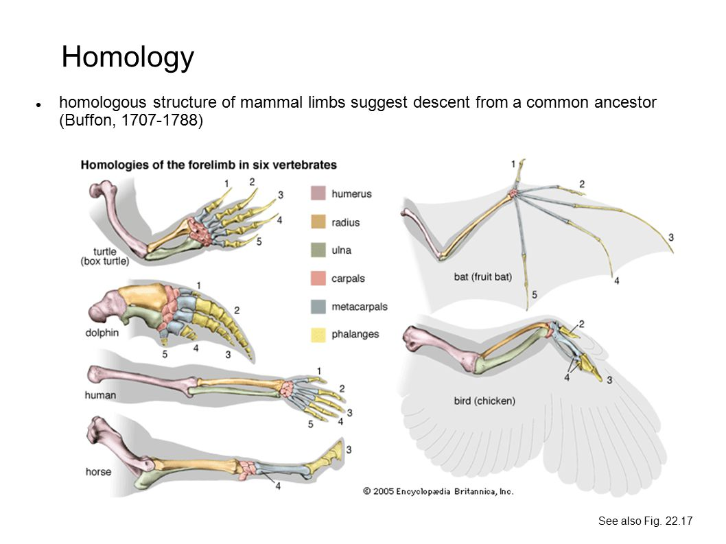 Homology homologous structure of mammal limbs suggest descent from a common ancestor (Buffon, 1707-1788)