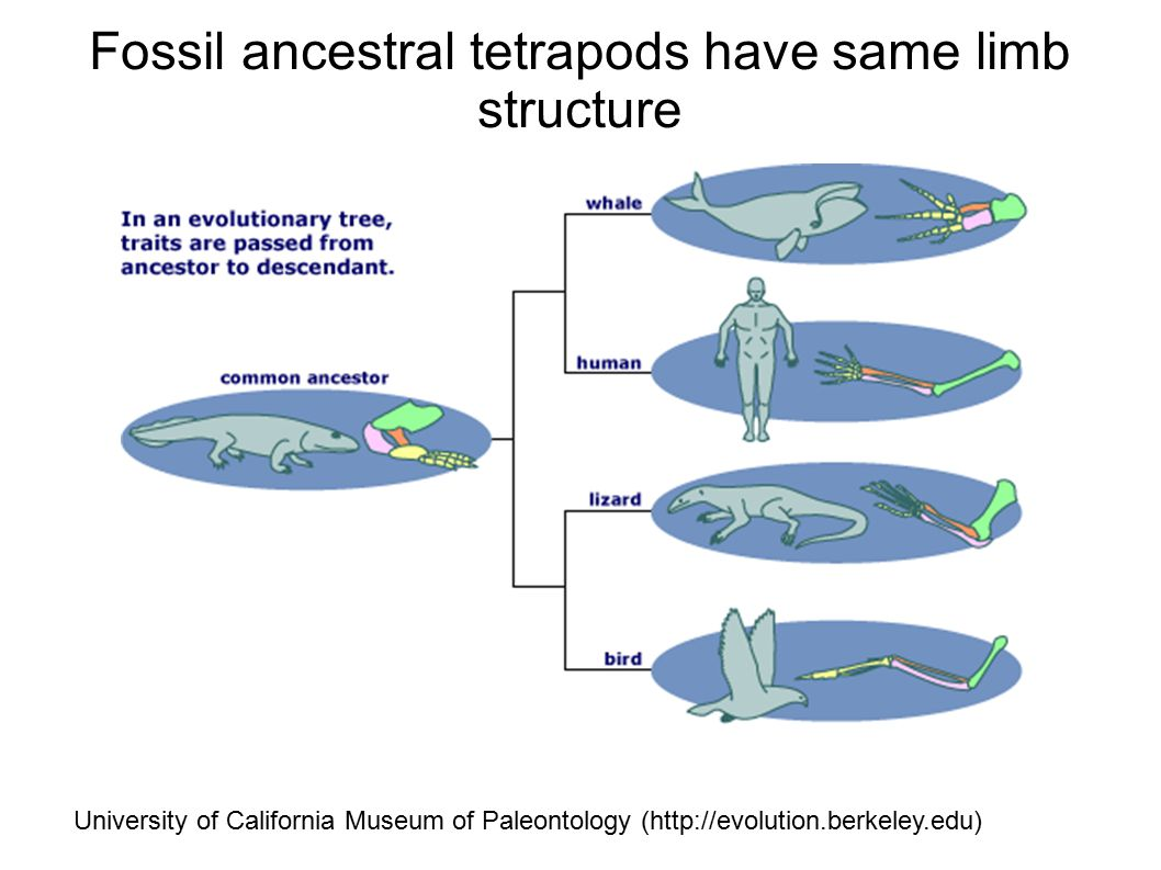 Fossil ancestral tetrapods have same limb structure