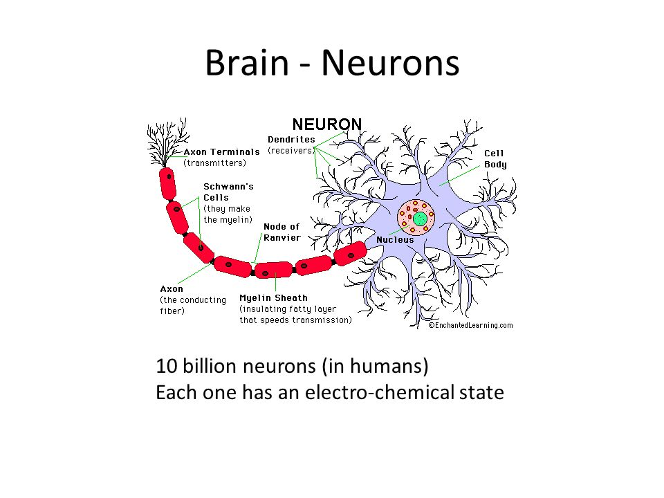 Brain - Neurons 10 billion neurons (in humans)
