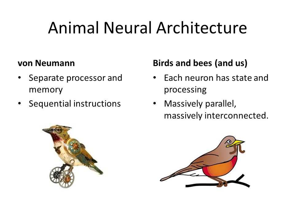 Animal Neural Architecture