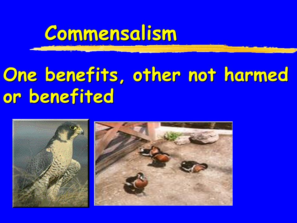 Commensalism One benefits, other not harmed or benefited