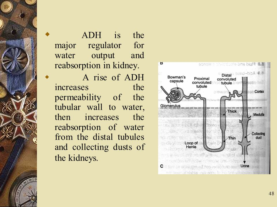 ADH is the major regulator for water output and reabsorption in kidney.