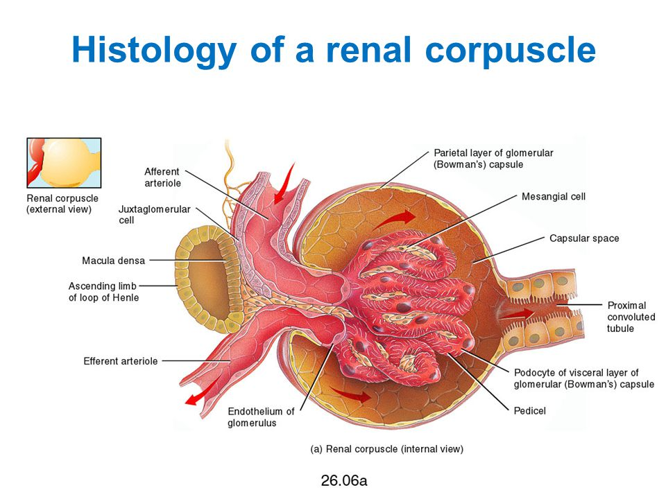 Histology of a renal corpuscle