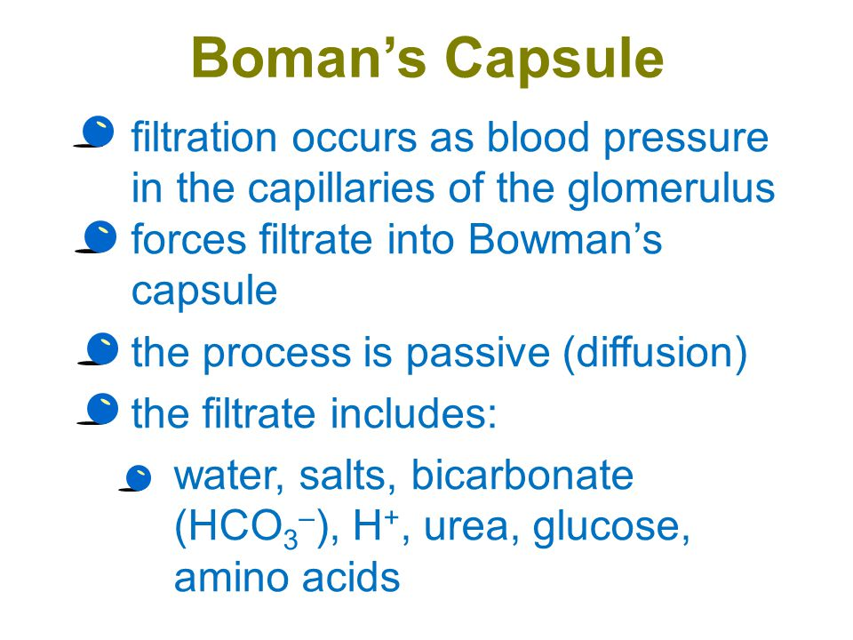 Boman's Capsule filtration occurs as blood pressure in the capillaries of the glomerulus forces filtrate into Bowman's capsule.