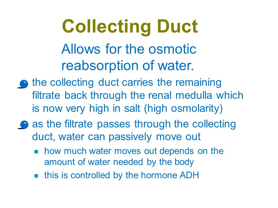 Collecting Duct Allows for the osmotic reabsorption of water.