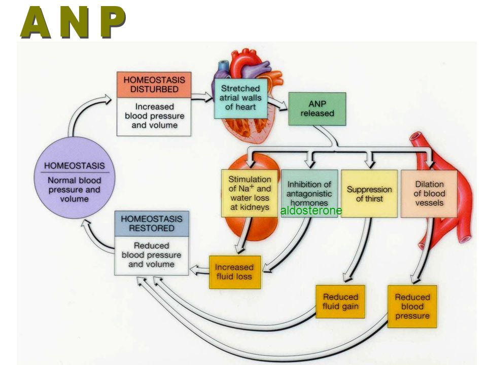 ANP aldosterone
