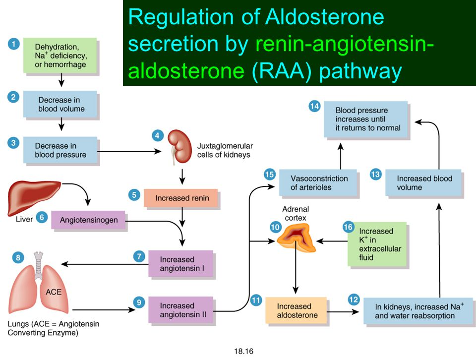 Regulation of Aldosterone secretion by renin-angiotensin-aldosterone (RAA) pathway