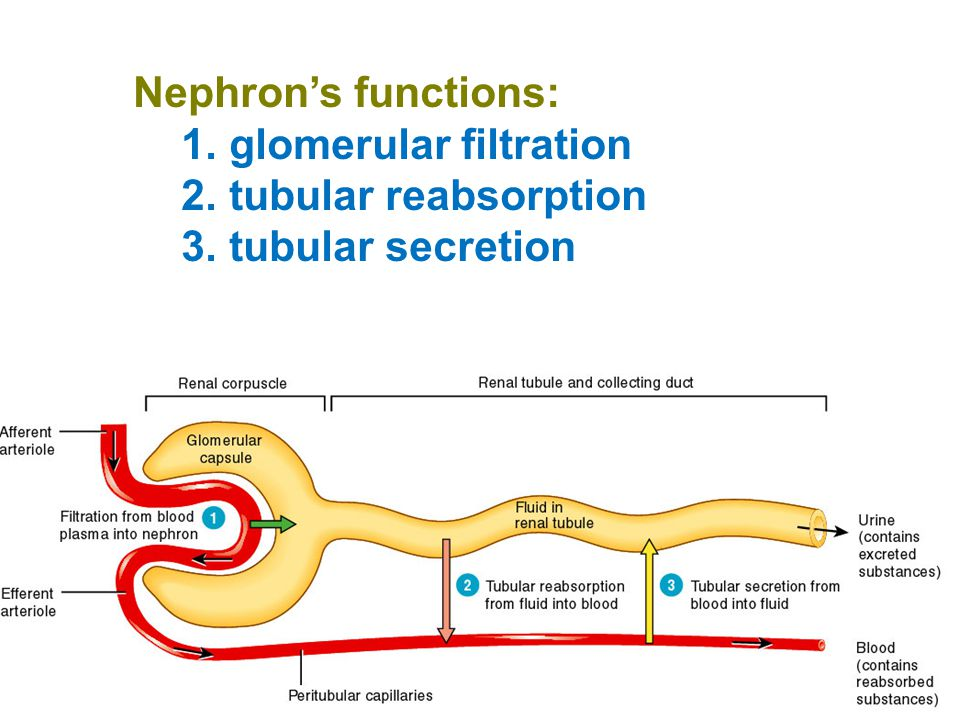 Nephron's functions: glomerular filtration tubular reabsorption tubular secretion