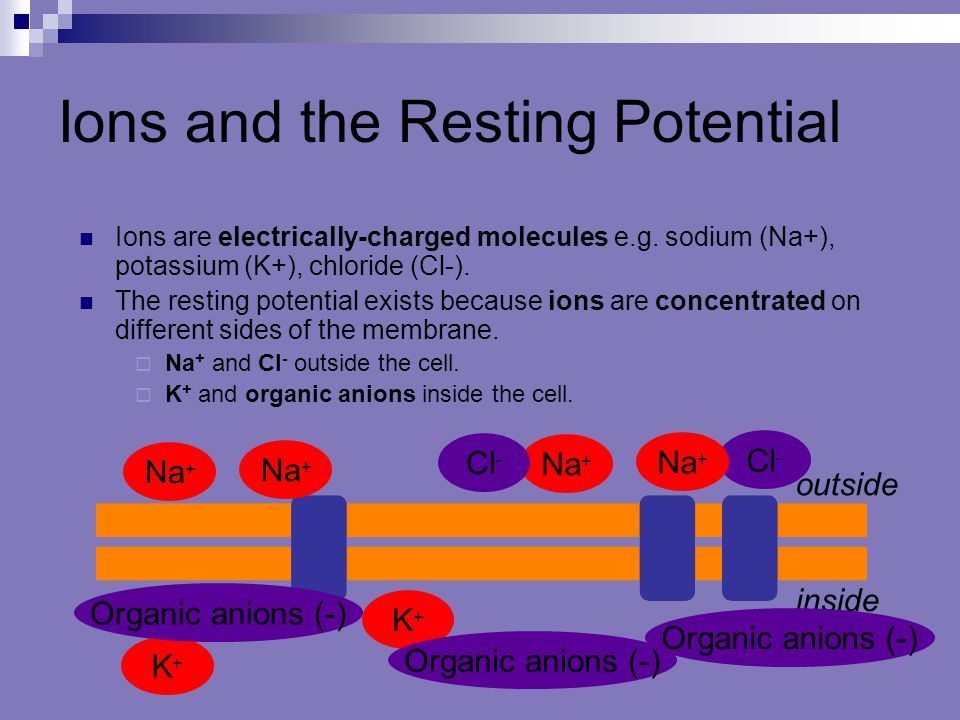 Ions and the Resting Potential