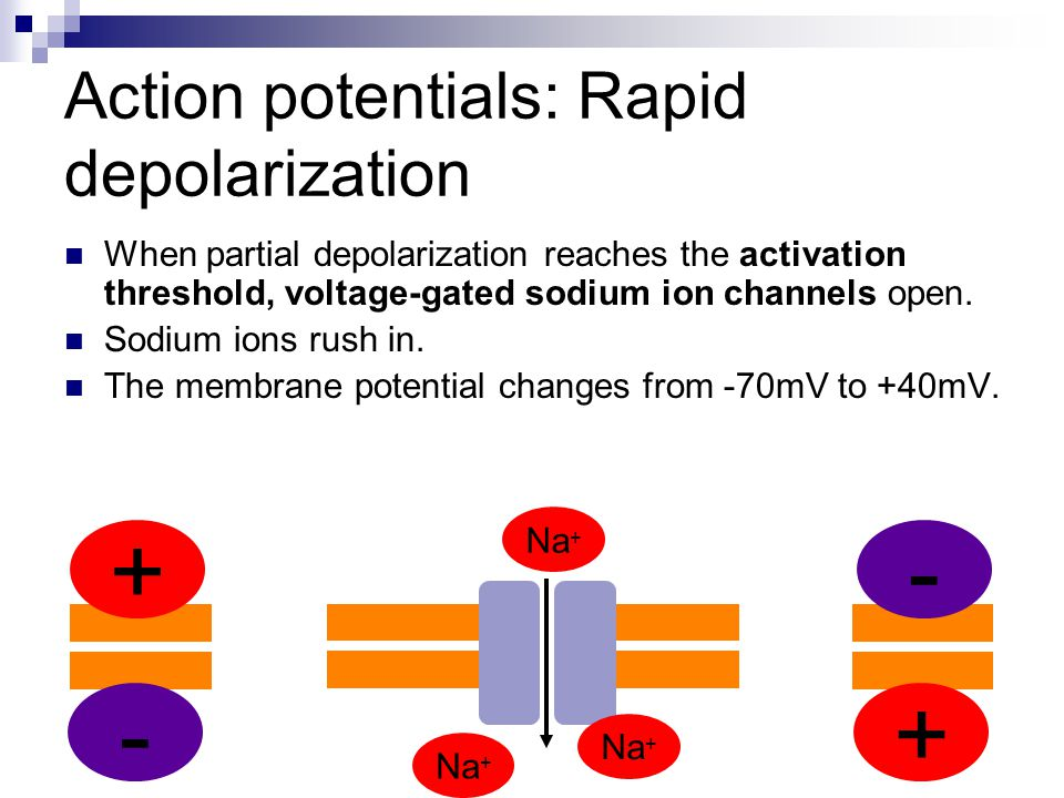 Action potentials: Rapid depolarization