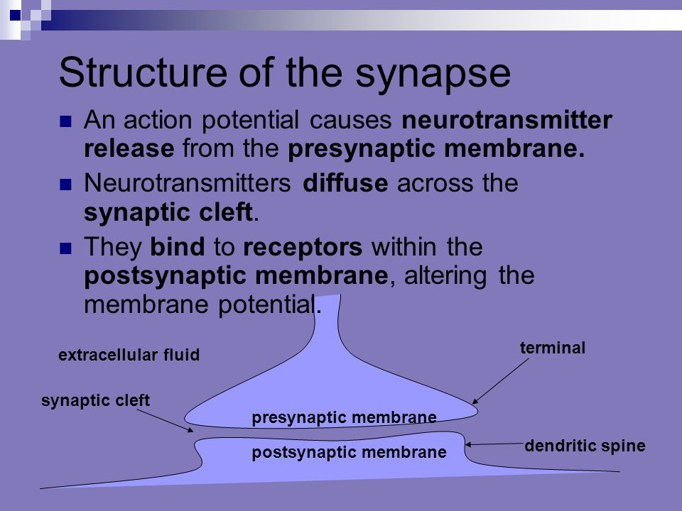 Structure of the synapse
