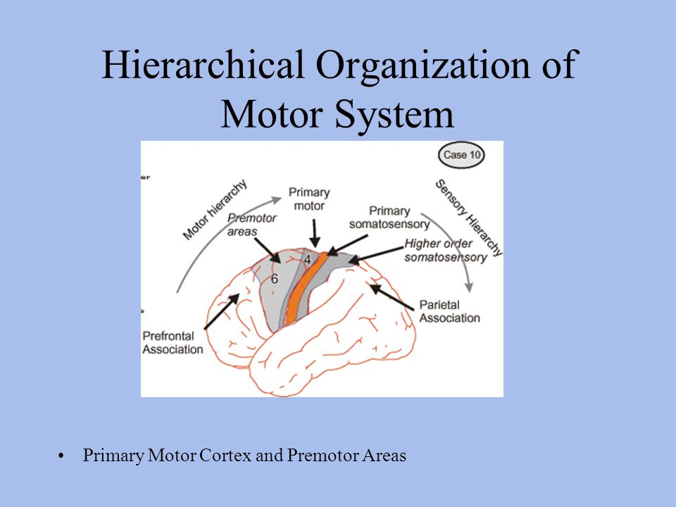 Hierarchical Organization of Motor System