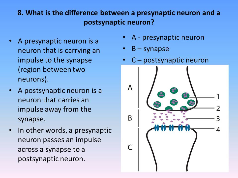 8. What is the difference between a presynaptic neuron and a postsynaptic neuron