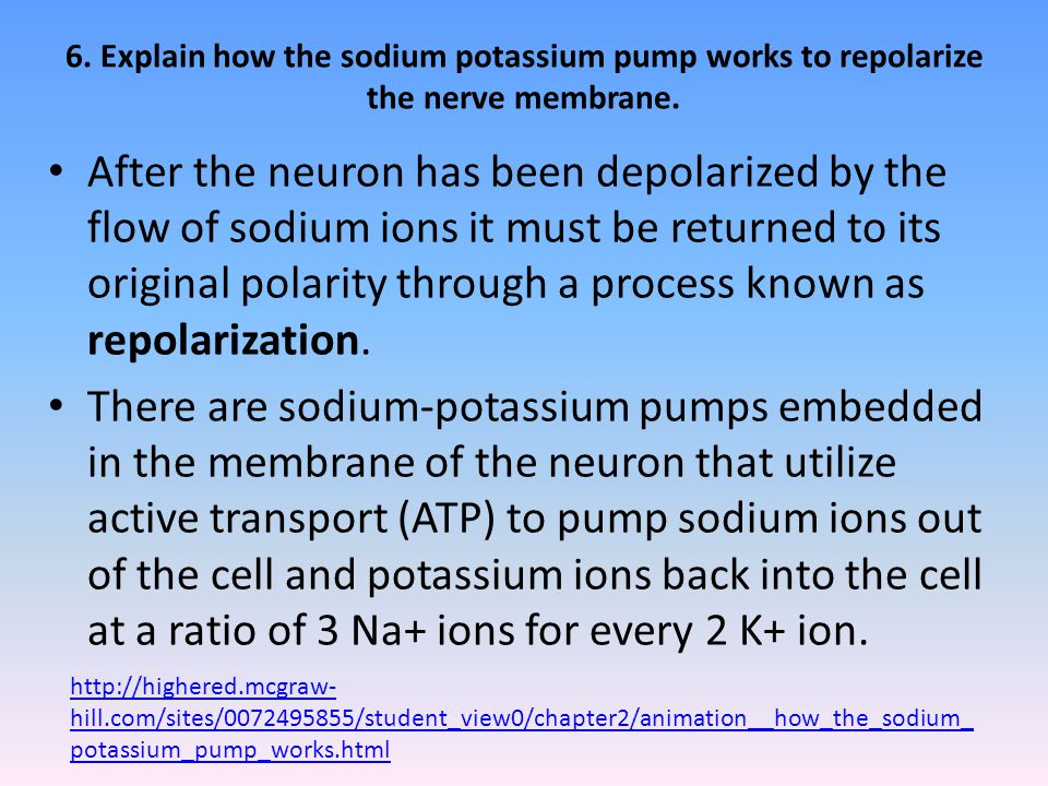 6. Explain how the sodium potassium pump works to repolarize the nerve membrane.