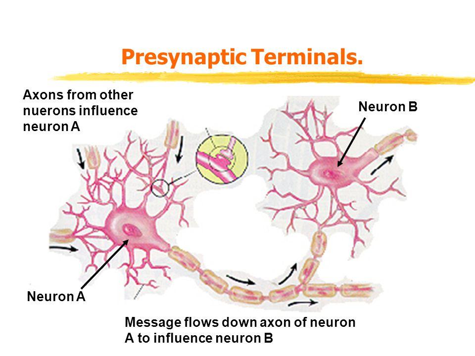 Presynaptic Terminals.