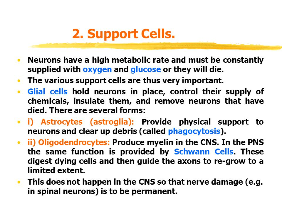 2. Support Cells. Neurons have a high metabolic rate and must be constantly supplied with oxygen and glucose or they will die.