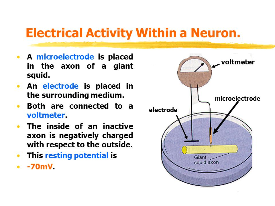 Electrical Activity Within a Neuron.