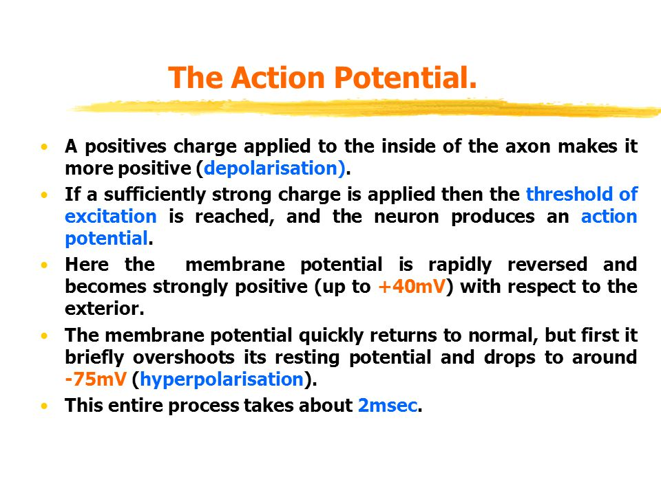 The Action Potential. A positives charge applied to the inside of the axon makes it more positive (depolarisation).