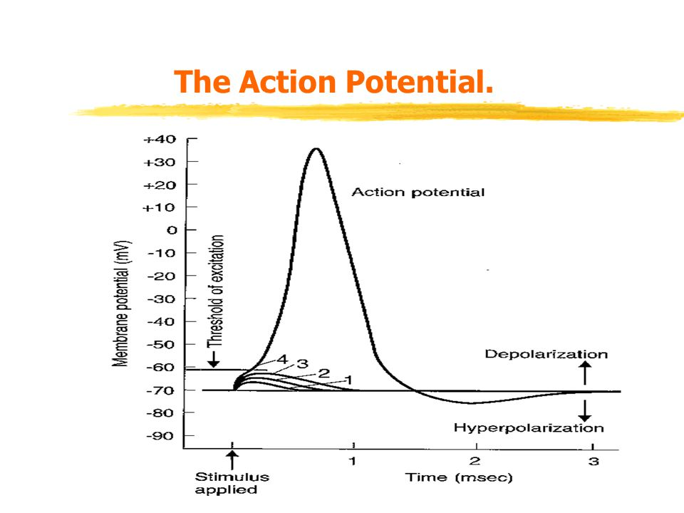 The Action Potential.