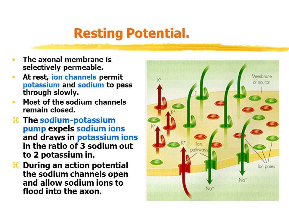Resting Potential. The axonal membrane is selectively permeable. At rest, ion channels permit potassium and sodium to pass through slowly.