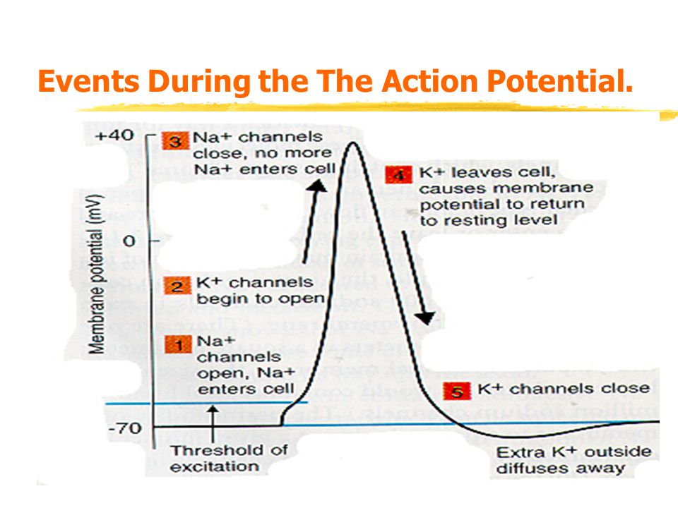 Events During the The Action Potential.