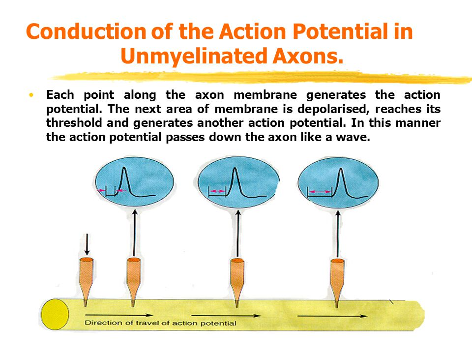 Conduction of the Action Potential in Unmyelinated Axons.