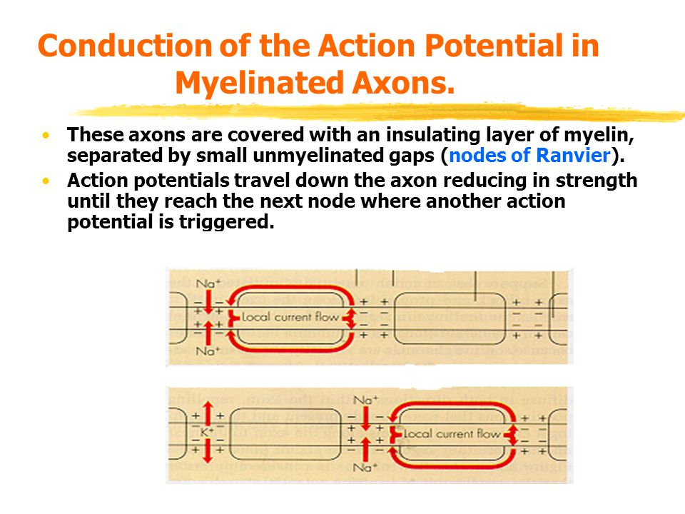 Conduction of the Action Potential in Myelinated Axons.