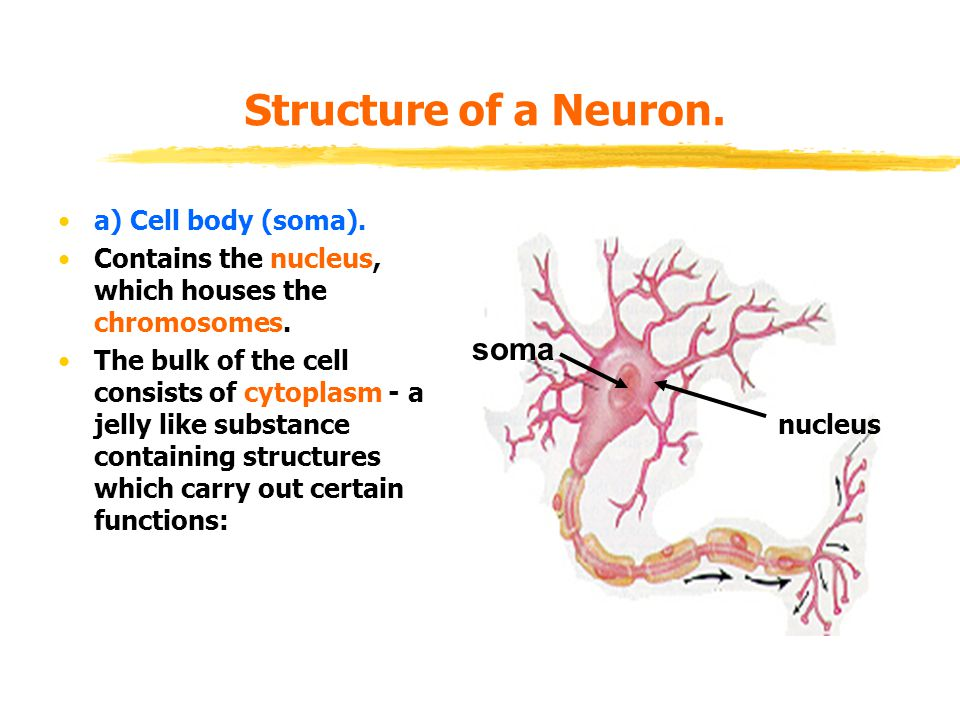 Structure of a Neuron. soma a) Cell body (soma).