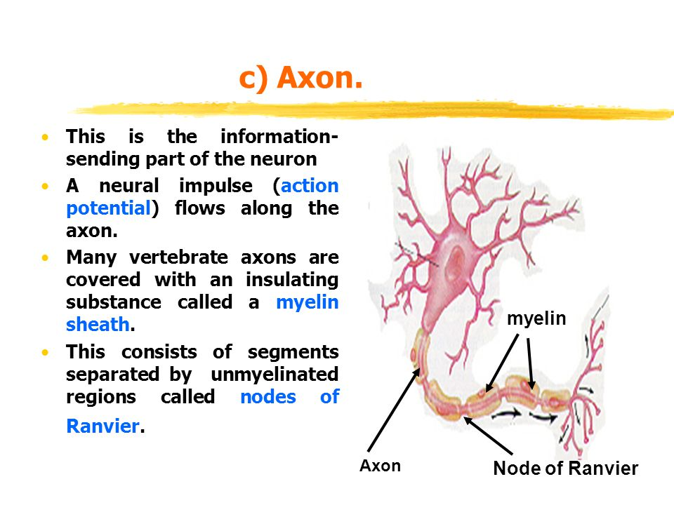 c) Axon. This is the information-sending part of the neuron