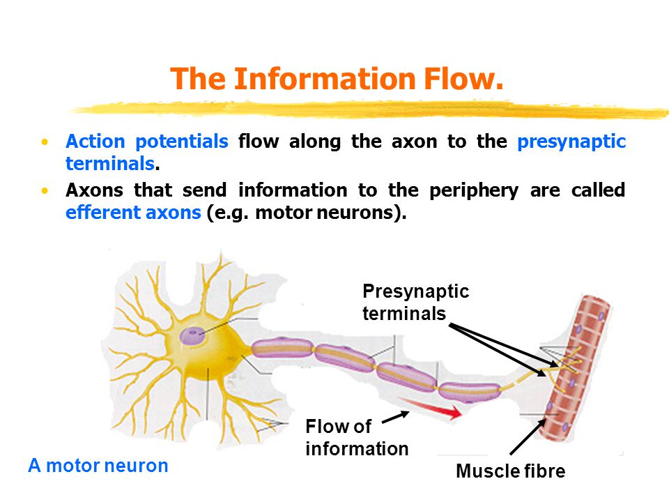 The Information Flow. Action potentials flow along the axon to the presynaptic terminals.