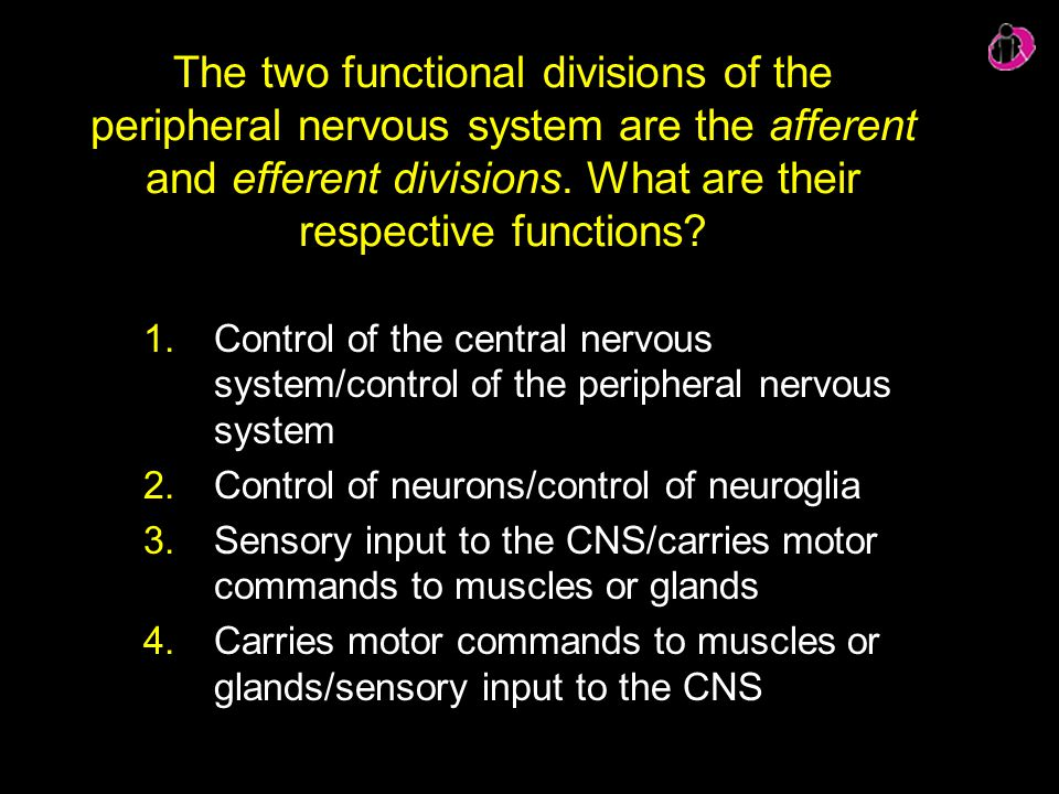 The two functional divisions of the peripheral nervous system are the afferent and efferent divisions. What are their respective functions