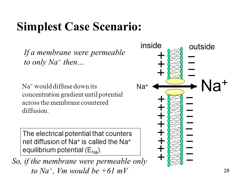 So, if the membrane were permeable only to Na+, Vm would be +61 mV