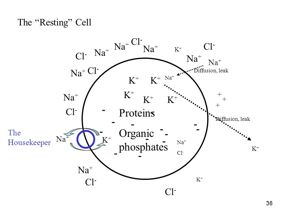 Proteins Organic phosphates The Resting Cell Cl- Na+ Cl- Na+ Na+ Cl-