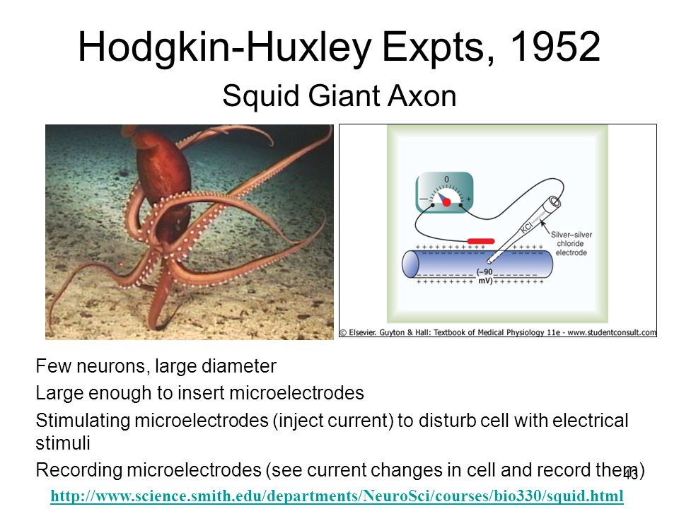 Hodgkin-Huxley Expts, 1952 Squid Giant Axon