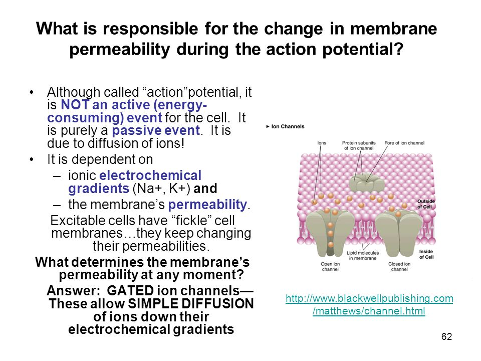 What determines the membrane's permeability at any moment