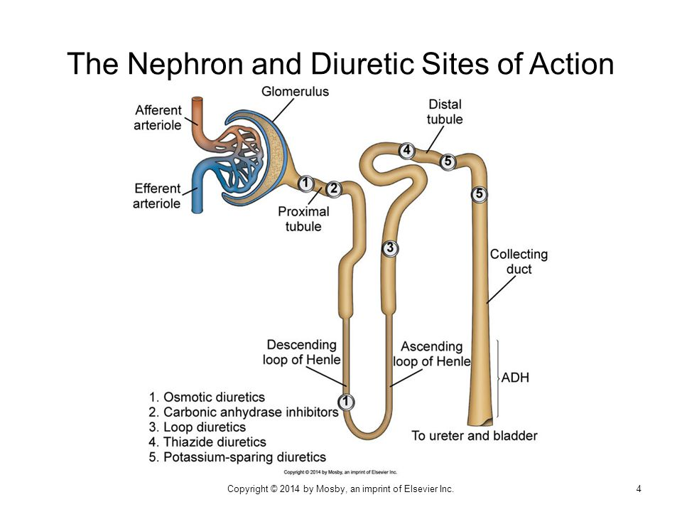 The Nephron and Diuretic Sites of Action