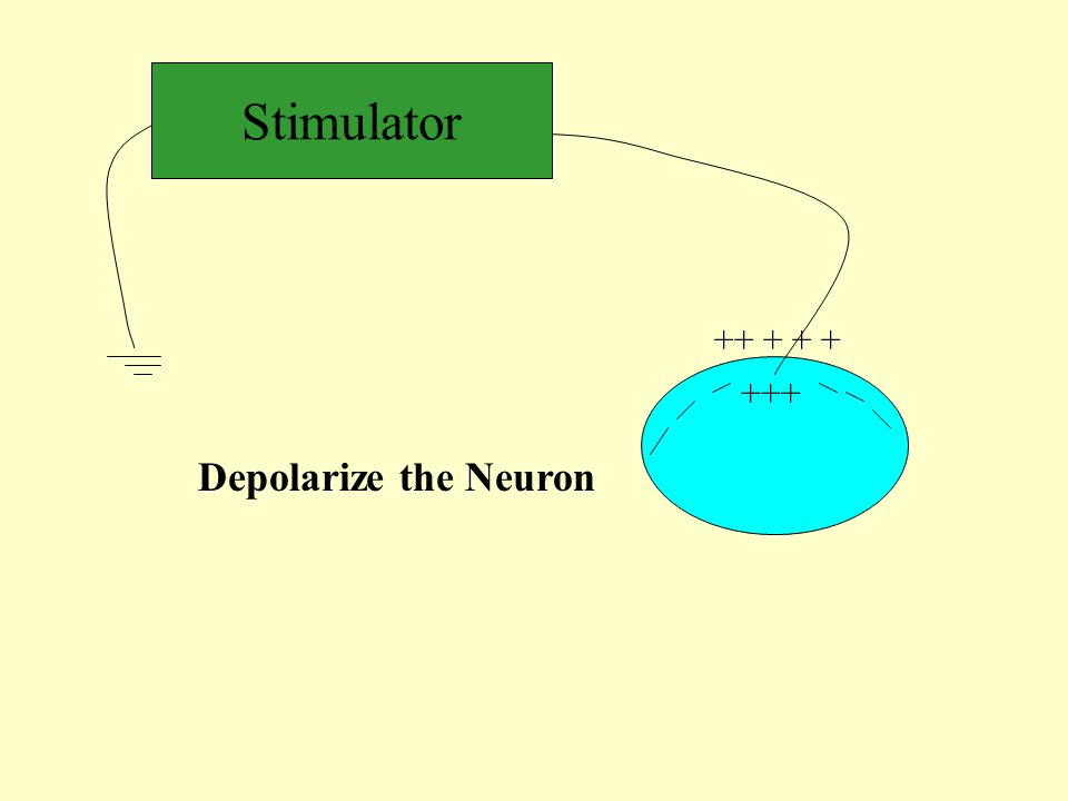 Stimulator ++ + + + +++ Depolarize the Neuron