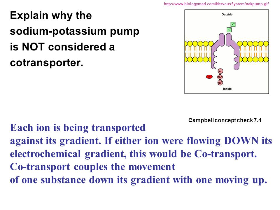sodium-potassium pump is NOT considered a cotransporter.