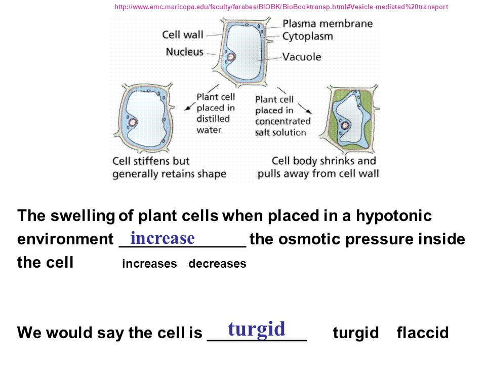 turgid increase The swelling of plant cells when placed in a hypotonic