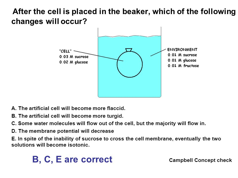 After the cell is placed in the beaker, which of the following changes will occur