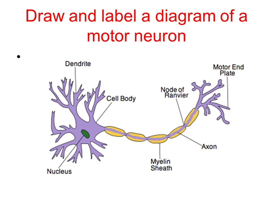 Draw and label a diagram of a motor neuron