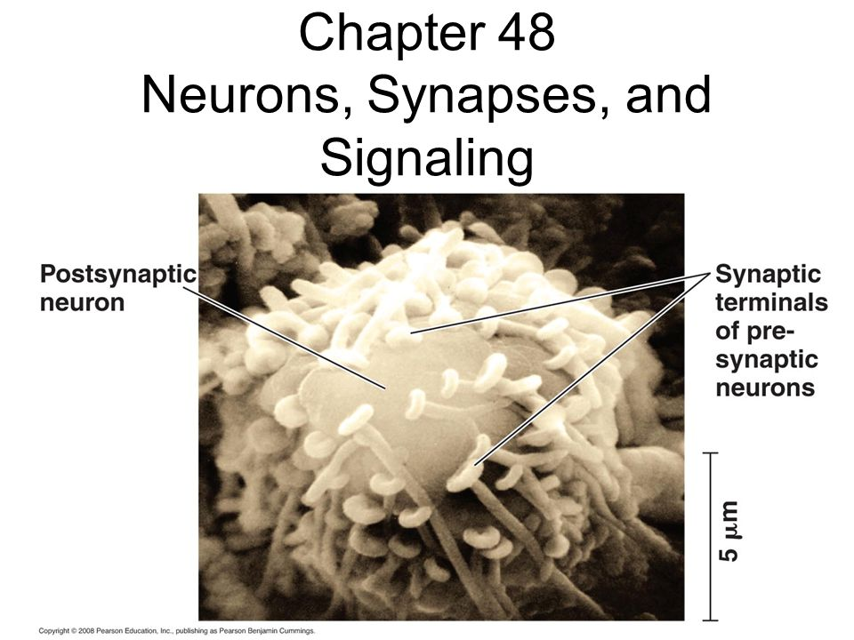 Chapter 48 Neurons, Synapses, and Signaling