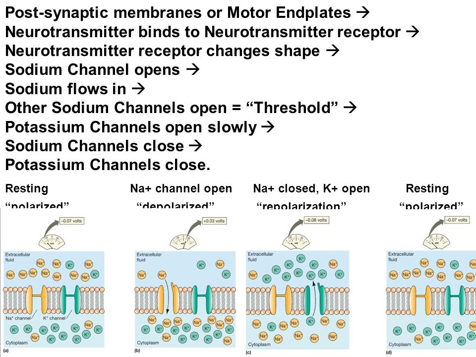 Post-synaptic membranes or Motor Endplates 